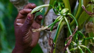 Symrise Brings Consumers Close to Source Of Vanilla